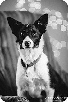 Border Collie Mix Puppy for adoption in Portland, Oregon - Precious