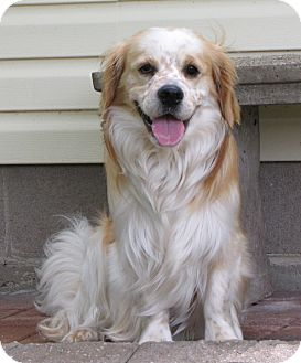 Cavalier King Charles Spaniel/Spaniel (Unknown Type) Mix Dog for adoption in Westport, Connecticut - *The Royals - PENDING