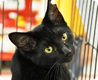 Domestic Shorthair Kitten for adoption in Great Falls, Montana - Orwell