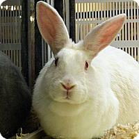 Adopt A Pet :: Snowflake - Cheyenne, WY