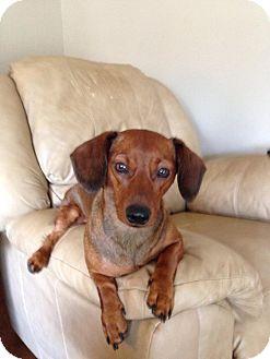 Dachshund Mix Dog for adoption in Wichita Falls, Texas - Angel