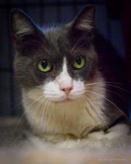 Domestic Shorthair/Domestic Shorthair Mix Cat for adoption in Bulverde, Texas - Tommy 03-09-06