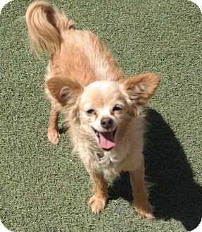 Pomeranian Mix Dog for adoption in San Pablo, California - RUSTY
