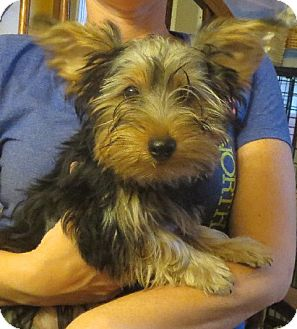 Yorkie, Yorkshire Terrier Puppy for adoption in Greenville, Rhode Island - Ralph