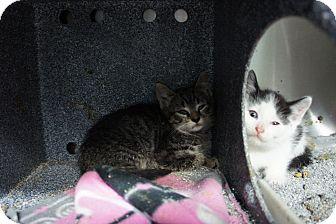 Domestic Shorthair Kitten for adoption in Henderson, North Carolina - Navy Kittens (4)
