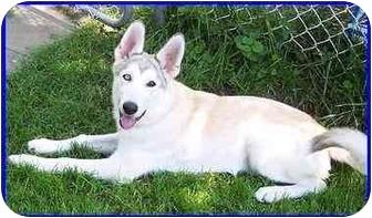 German Shepherd Dog/Siberian Husky Mix Dog for adoption in Hamilton, Ontario - Mykah