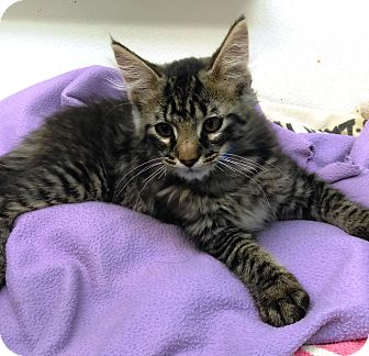 Domestic Longhair Kitten for adoption in University Park, Illinois - Crispin