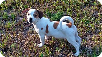 Terrier (Unknown Type, Medium)/Jack Russell Terrier Mix Puppy for adoption in Mary Esther, Florida - England