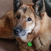German Shepherd Dog Mix Dog for adoption in Kouts, Indiana - Star