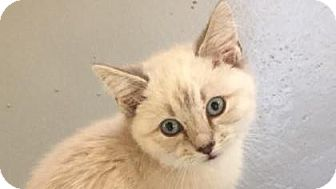 Siamese Kitten for adoption in Fountain Hills, Arizona - JERICHO