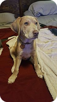 American Bulldog/Golden Retriever Mix Puppy for adoption in Van Alstyne, Texas - Chickasaw
