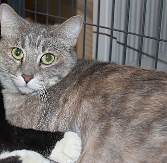 Domestic Shorthair Cat for adoption in Battle Creek, Michigan - Priscilla