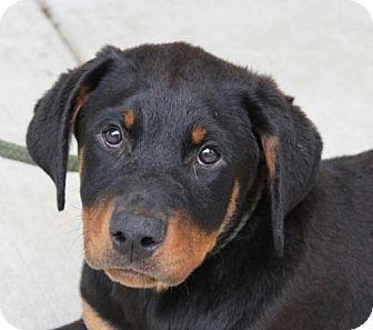 Rottweiler Mix Puppy for adoption in Harrisonburg, Virginia - Zara