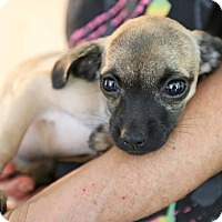 Pug/Chihuahua Mix Puppy for adoption in Washington, D.C. - Grivet