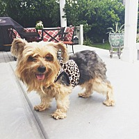 Yorkie, Yorkshire Terrier Mix Dog for adoption in Redondo Beach, California - Ellie loves to cuddle!