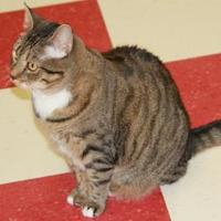 Domestic Shorthair/Domestic Shorthair Mix Cat for adoption in Thomasville, Georgia - Nala