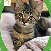 Adopt A Pet :: Tinker - Mt. Prospect, IL