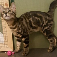 Adopt A Pet :: Dommie - Salisbury, NC