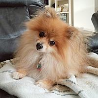 Adopt A Pet :: Pilot - conroe, TX