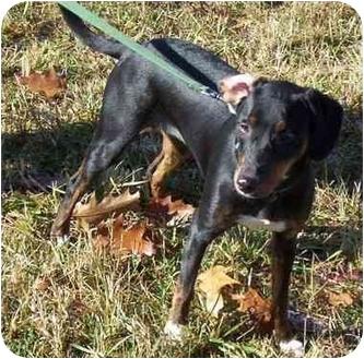 Doberman Pinscher Mix Dog for adoption in Somerset, Pennsylvania - Tammy