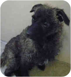 Cairn Terrier/Chihuahua Mix Dog for adoption in San Clemente, California - CHICO
