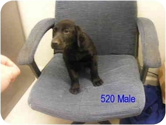 Labrador Retriever Puppy for adoption in Rochester, New Hampshire - Shazam