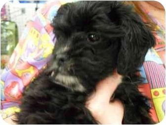 Yorkie, Yorkshire Terrier/Cavalier King Charles Spaniel Mix Puppy for adoption in Lonedell, Missouri - Alex