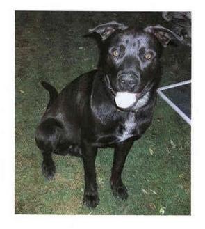Labrador Retriever Mix Dog for adoption in Greensburg, Pennsylvania - Sammy