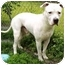 Photo 2 - American Pit Bull Terrier/American Bulldog Mix Dog for adoption in Howes Cave, New York - Bruno - On Hold