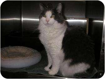 Polydactyl/Hemingway Cat for adoption in Woodstock, Georgia - Tia