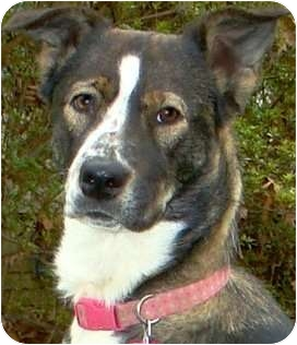 Collie/Shepherd (Unknown Type) Mix Dog for adoption in Pawling, New York - FRANCES(WOW!!! GORGEOUS!!!)