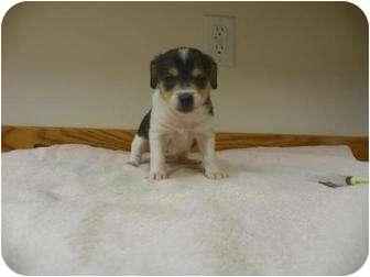Chihuahua/Dachshund Mix Puppy for adoption in Roosevelt, Utah - Minnie