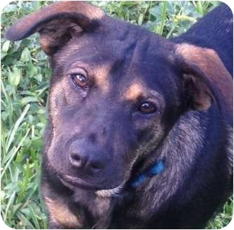 Jack Russell Terrier/Hound (Unknown Type) Mix Dog for adoption in West Palm Beach, Florida - GILLY