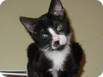 Domestic Shorthair Kitten for adoption in Richfield, Ohio - Teddy