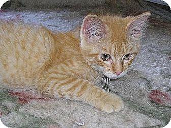 Domestic Shorthair Cat for adoption in Eldora, Iowa - Jammer