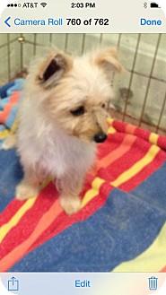 Yorkie, Yorkshire Terrier/Norfolk Terrier Mix Puppy for adoption in El Segundo, California - Peaches