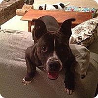 Adopt A Pet :: Oreo - Midway, KY