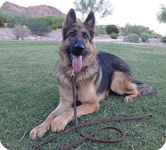 German Shepherd Dog Puppy for adoption in SCOTTSDALE, Arizona - PINK FLOYD