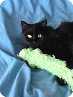 Domestic Mediumhair Cat for adoption in Asheboro, North Carolina - Donnie