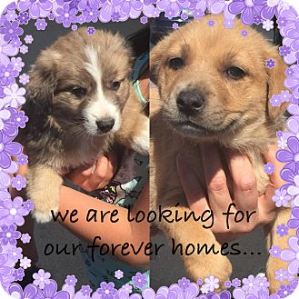Australian Shepherd/Retriever (Unknown Type) Mix Puppy for adoption in Chandler, Arizona - little bear