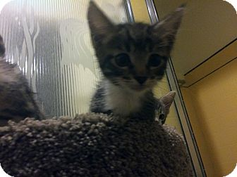 Domestic Shorthair Kitten for adoption in Mission Viejo, California - Billy