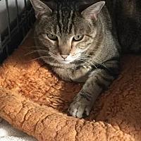 Domestic Shorthair Cat for adoption in Denver, Colorado - Ursa
