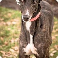 Adopt A Pet :: Spring aka MC Spring Rubber - Gainesville, FL
