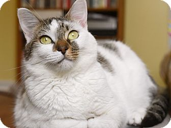 Domestic Shorthair Cat for adoption in Nashville, Tennessee - Betsy