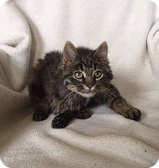 Domestic Mediumhair Kitten for adoption in South Haven, Michigan - Priscilla-In Foster