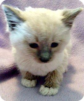 Domestic Shorthair Kitten for adoption in Jefferson, North Carolina - Napoleon