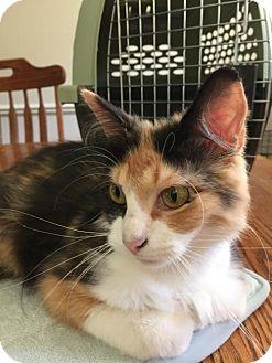 Calico Cat for adoption in Livonia, Michigan - Sabrina-ADOPTED