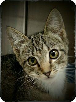 Domestic Shorthair Kitten for adoption in Pueblo West, Colorado - Francisco
