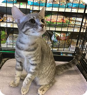 Domestic Shorthair Cat for adoption in Gilbert, Arizona - Raina