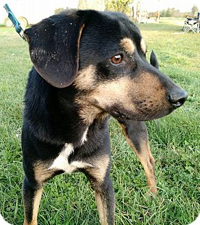 Shepherd (Unknown Type)/Hound (Unknown Type) Mix Dog for adoption in Macomb, Illinois - Zeke